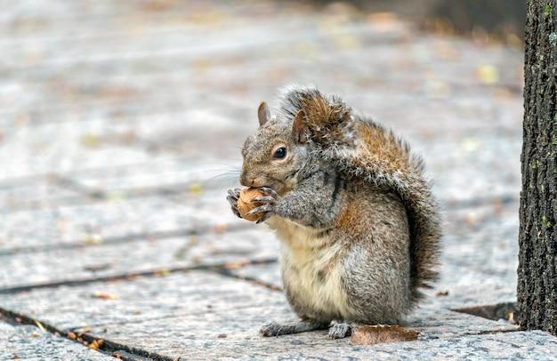 Восточная серая белка ест грецкий орех на троицкой площади в торонто, канада