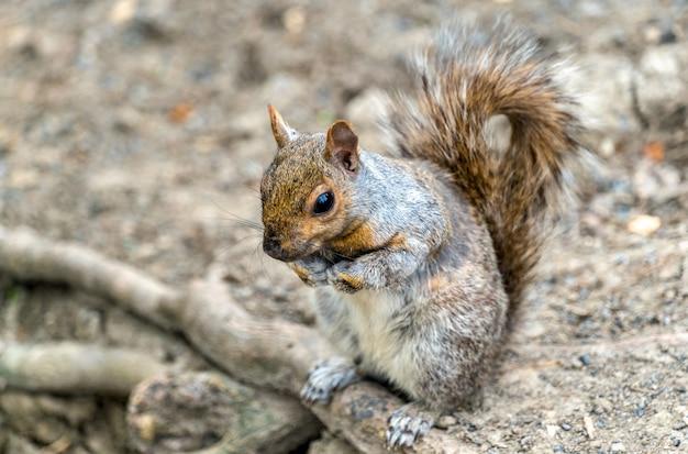 동부 회색 다람쥐, 몬트리올의 sciurus carolinensis-퀘벡, 캐나다