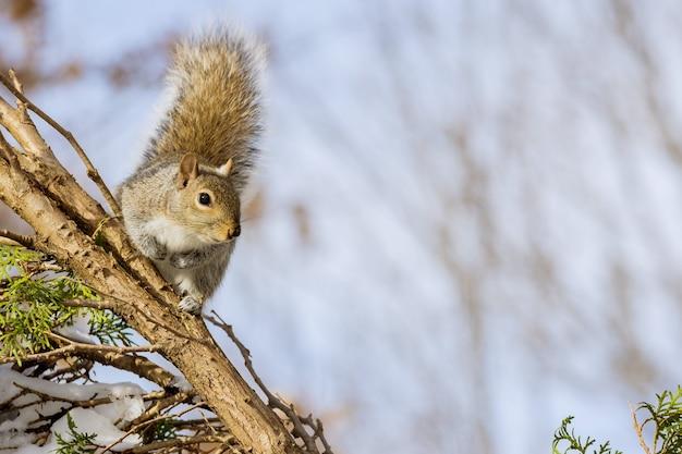 Восточная серая белка с орехами зимой в парковом лесу
