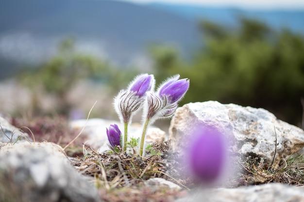 Конец-вверх цветка восточной паски на предпосылке зеленого леса.