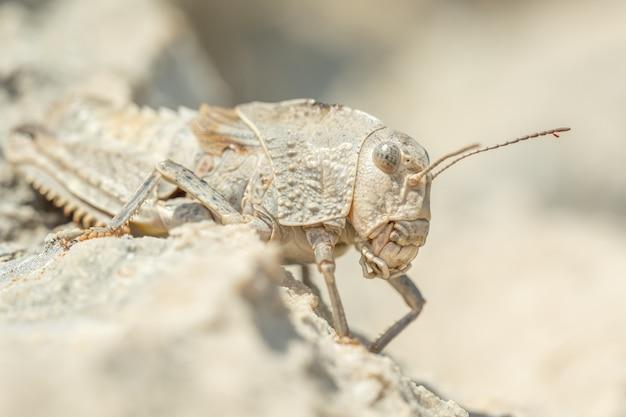 岩の上に座っているイースタンストーングラスホッパー(prionotropis hystrix)