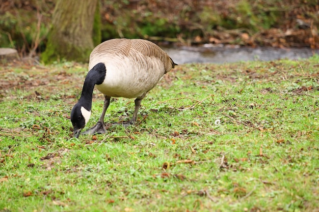 Едят канадского гуся в поле, покрытом зеленью, под солнечным светом с размытым фоном
