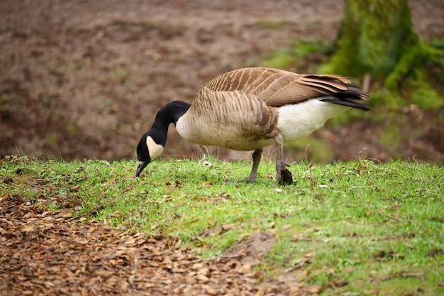 Едят канадского гуся в поле, покрытом зеленью