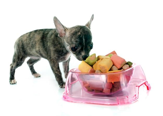 Eating chihuahua dog