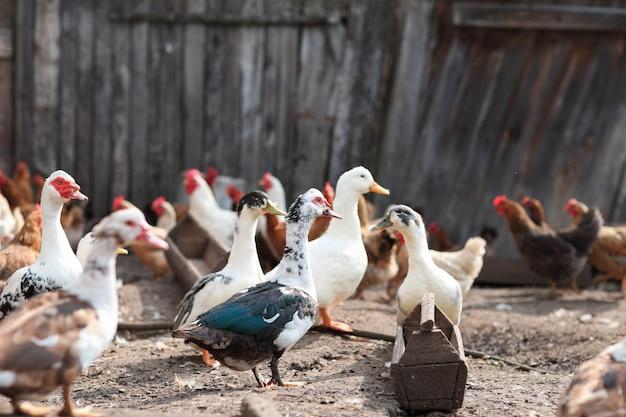 농장에서 거위와 닭을 먹고