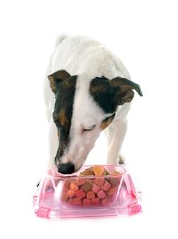 Eating jack russel terrier