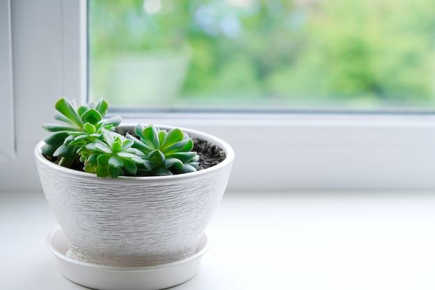 エケベリア。観葉植物。白い植木鉢でジューシー。室内の花のお手入れ、