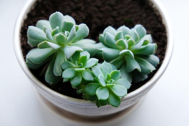 エケベリア。観葉植物。窓辺の白い植木鉢に多肉植物。