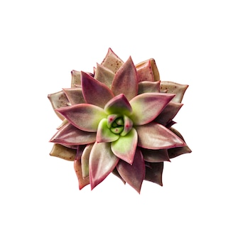Echeveria red taurus plant closeup isolated on white background with clipping path