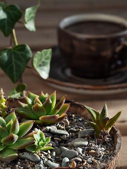 エケベリア多肉植物-ココナッツポット、木製のテーブルの上の屋内植物。