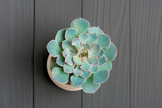 Сочное растение. зеленый кактус echeveria в белом баке на темноте - серая таблица.