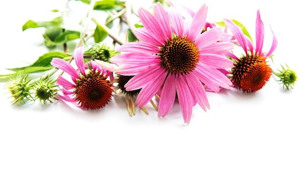 白い表面に分離されたエキナセアの花