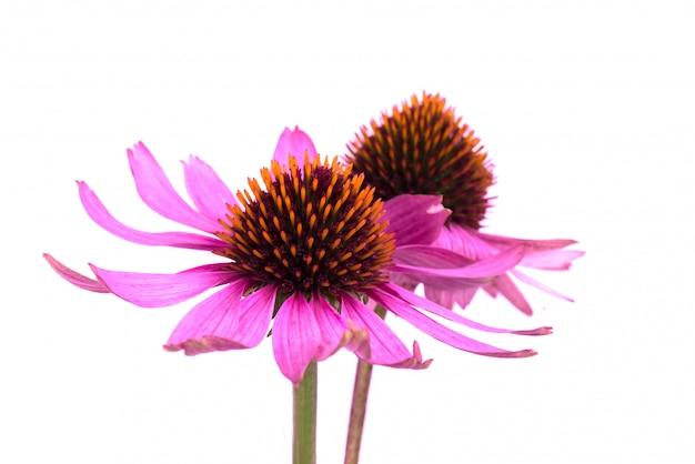 Цветки эхинацеи закрывают вверх изолированный. лекарственные травы.