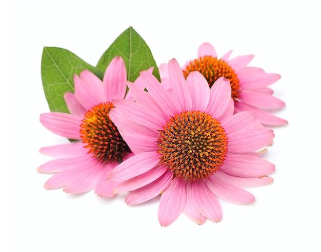 エキナセアの花は孤立してクローズアップ。薬用植物。