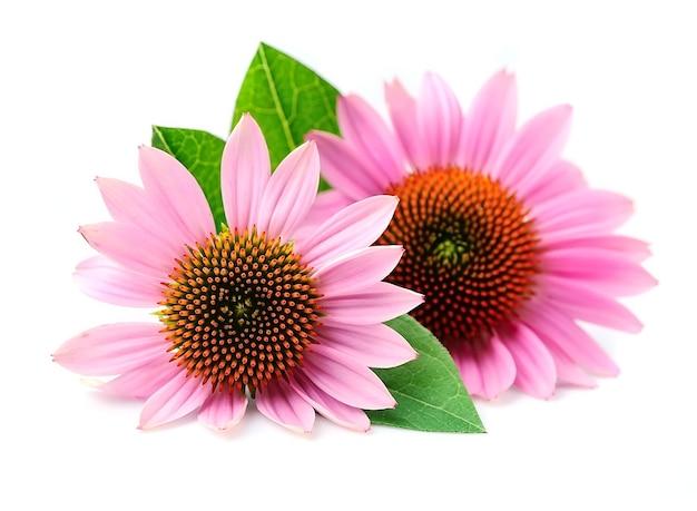 Цветки эхинацеи заделывают изолированными. лекарственное растение.