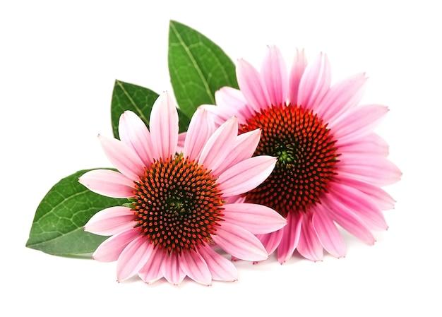 Цветы эхинацеи крупным планом, изолированные на белом фоне
