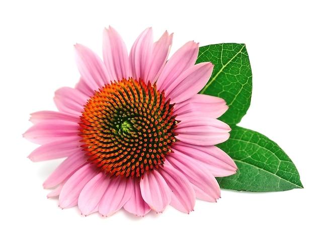 エキナセアの花は白で孤立してクローズアップします。