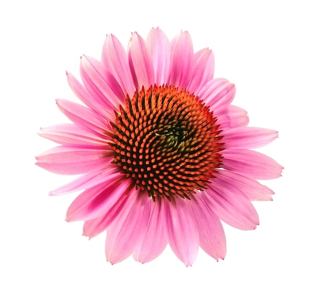 Echinacea flowers close up isolated on white