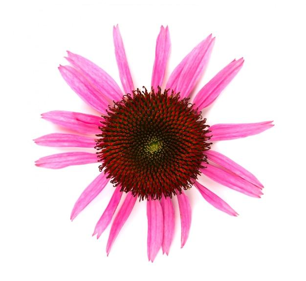 Echinacea flowers close up isolated