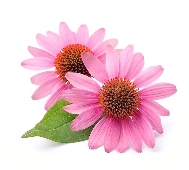 エキナセアの花は孤立してクローズアップ。