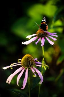 Echinacea flowers in the garden
