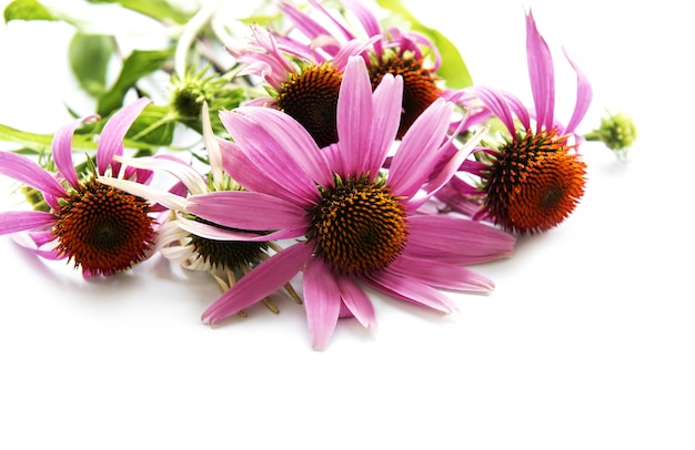 分離されたエキナセアの花