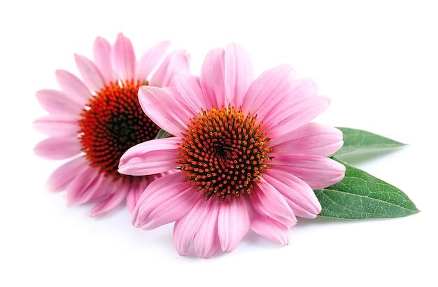 白い背景の上のエキナセアの花