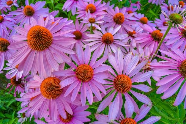エキナセアは開花観賞用草本多年草です