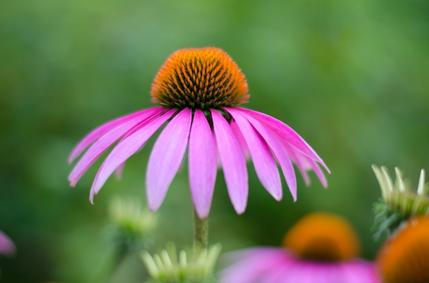 Echinacea purple. a perennial plant of the asteraceae family.