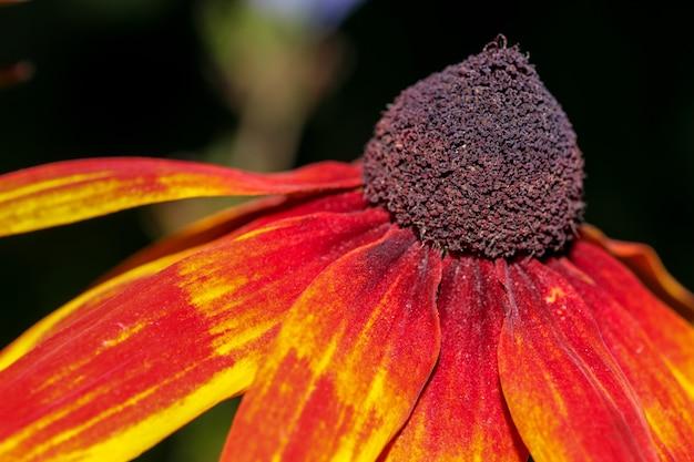 エキナセアパープレアが咲く晴れた秋の日のクローズアップクローズアップ