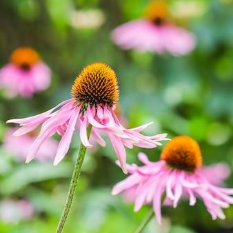 エキナセアパープレアコーンフラワー庭にオレンジ色の中心を持つ美しい紫色の花