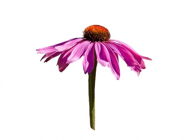 白で分離されたエキナセアパープレアの花の頭。