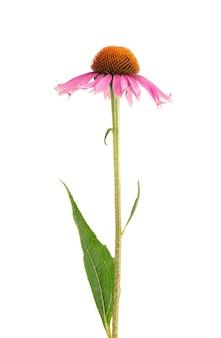 白地に分離されたエキナセアパープレアの花。薬用ハーブ植物。