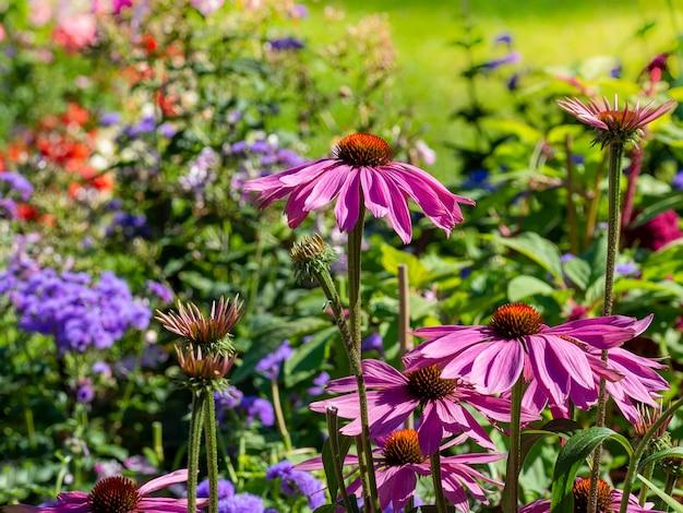Echinacea purpurea 핑크 coneflower 꽃 여름에 꽃