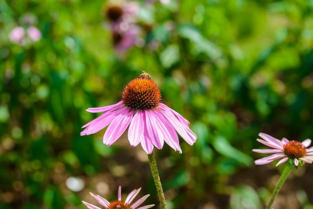Фиолетовый эхинацея (echinacea purpurea) популярное растение для привлечения медоносной пчелы