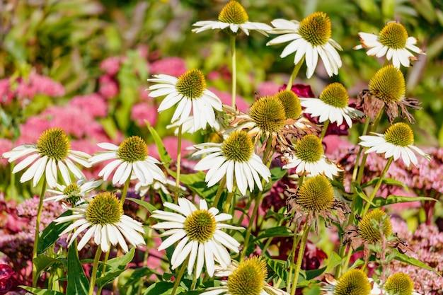 晴れた日のエキナセア白い花のクローズアップ