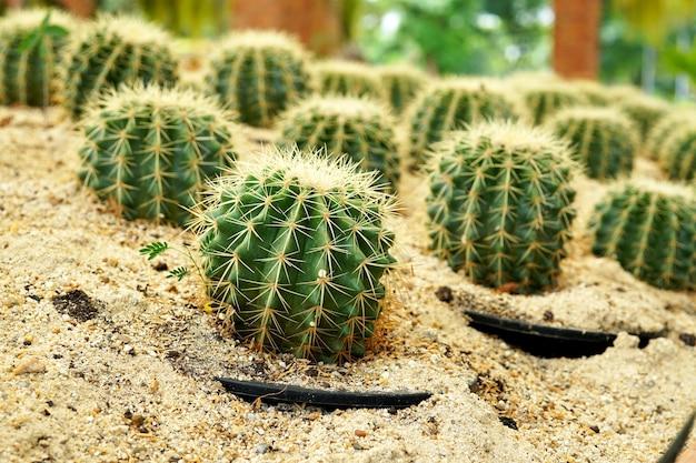 Кактус echinocactus grusonii на ферме кактусов