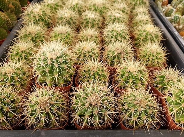 선인장 농장의 echinocactus grusonii
