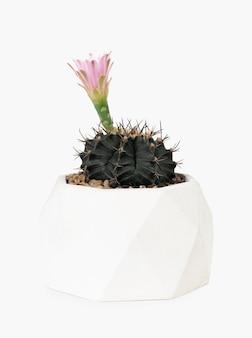 핑크 꽃과 echinopsis 선인장 식물