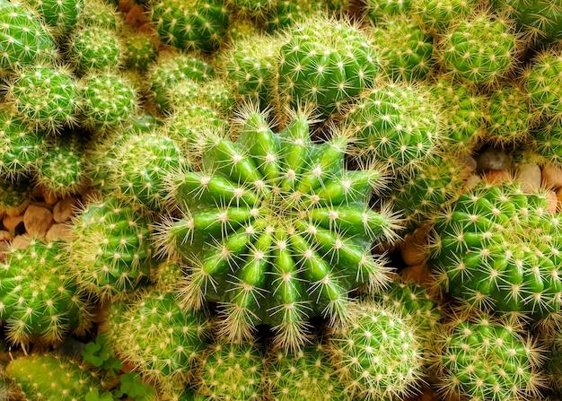 庭のechinopsiscalochloraサボテン