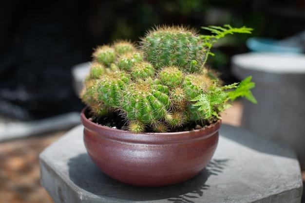 짙은 갈색 세라믹 냄비에 담긴 echinopsis calochlora k.schum. 시멘트 의자에 그릇에 선인장