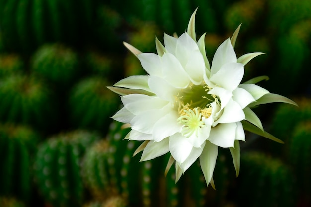 Echinopsis subdenudata with fully blossom of white flower.