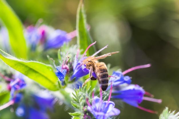 ミツバチは、echium vulgare、毒蛇の虫、ブルーウィードから蜜を収集します。牧草地で花粉を収集します。