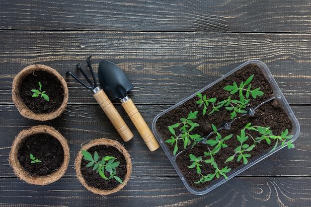 Экологически чистые горшки с зелеными молодыми саженцами помидоров на деревянном фоне, садовой лопаткой и граблями