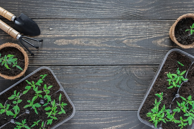 나무 배경, 정원 흙손 및 갈퀴에 어린 토마토 새싹이 있는 친환경 냄비
