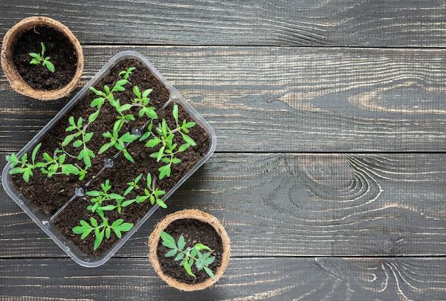 나무 배경에 젊은 토마토 콩나물과 친환경 냄비