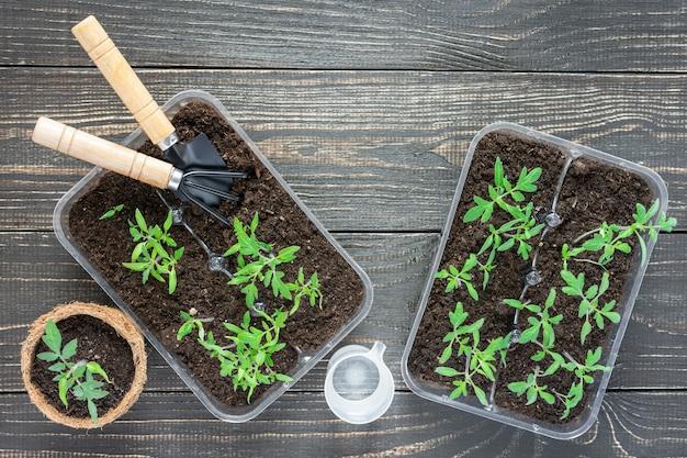 나무 벽, 정원 흙손 및 갈퀴에 어린 토마토 콩나물이있는 친환경 냄비와 물을주는 물 한 잔