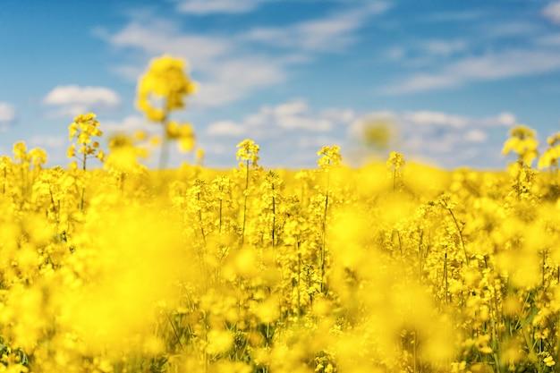 Фантастичный красивый желтый рапс цветы на фоне голубого неба. рапс. биотопливо. биодизель. eco. ì садоводство. масличный завод. поле