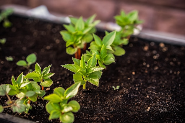 Ecology concept. seedling are growing from the rich soil. small depth of field. young plants in nursery plastic tray at vegetable farm.