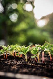 생태 개념. 풍부한 토양에서 묘목이 자랍니다. 작은 피사계 심도. 야채 농장에서 보육 플라스틱 트레이에 젊은 식물.